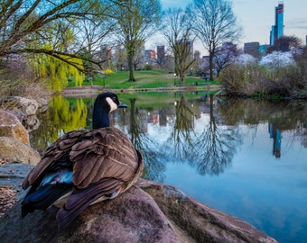 Central Park Photo, New York Photograph Bird Photography Nyc Print City Spring Manhattan Goose Wall Art nyc45