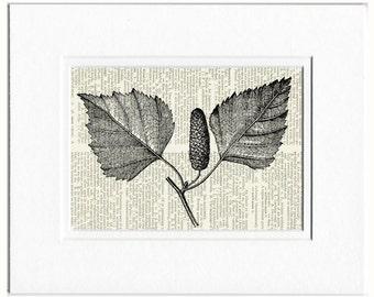 18oo's wood engraving, catkin of birch print