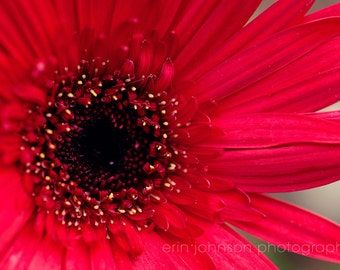 flower photography, gerber daisy, red home decor, nature photograph, red wall art, flower photograph, macro photography, Red Daisy no 1