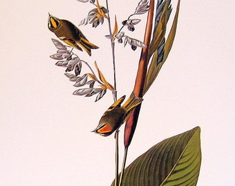 Audubon Bird Print - Golden Crowned Kinglet - Large 1981 Vintage Audubon Bird Book Page