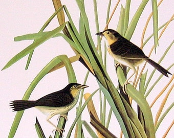 Audubon Bird Print - Seaside Sparrow - MacGillivray's Finch - Large 1981 Vintage Audubon Bird Book Page
