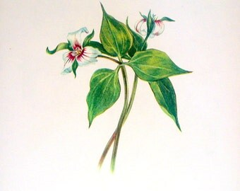 Flower Print - Painted Trillium, Toadshade - 2 Sided - 1950's Vintage Botanical Illustration Book Page