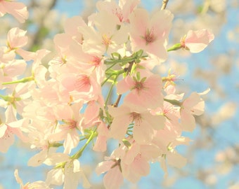 Cherry Blossoms - Pink and Cream Blooms - Pink Ice - Yoshino Cherry Tree - Original Color Photograph by Suzanne MacCrone Rogers