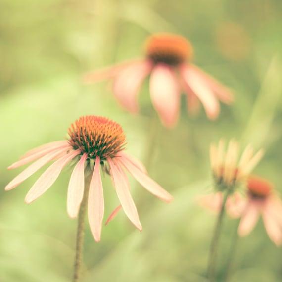 Summer flower photography pink and green wall art coneflower echinacea honeysuckle flower garden - Coney Island 8x8