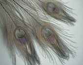 BLEACHED PEACOCK FEATHERS,  Pewter Grey,    / 520