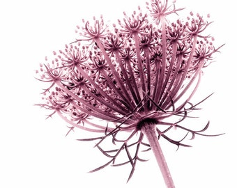 Raspberry Queen Anne's Lace Pink Wildflower Flower Minimalist Large Photograph Print