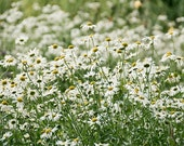 Daisies - 8x10 Photograph