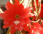 Red Epiphyllum cuttings- Orchid Cactus- strap cactii