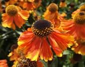 Helenium Sahin's Early Flowerer Perennial Seeds