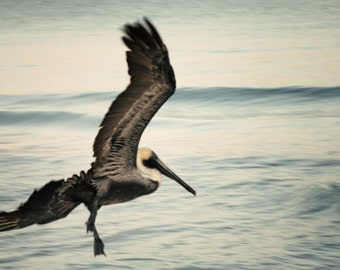 Seized with a passion for flight - Pelican, Fine art photograph, print 8x12
