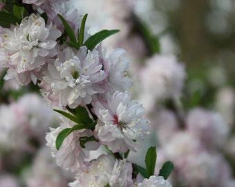 Flowering, Almond, Bush, Fine Art, Photography, Print, Glossy