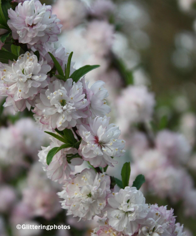 Flowering Almond Bush Fine Art graphy Print Glossy