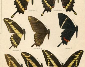Original Antique Butterfly Chart: Papilio Brasilienses