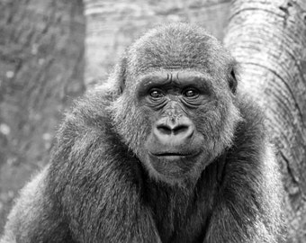 Silverback Gorilla Photo - 11x14 Black and White Animal Photography Print - Monkey Art
