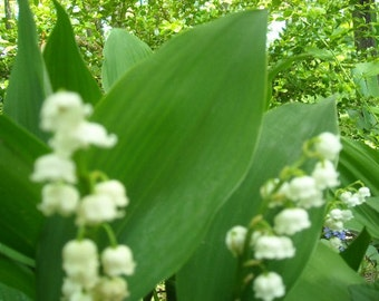 Sale !!!!!!!!!!  LILY Of VALLEY FLOWERS, Live Plant,6 rooted plant plugs.