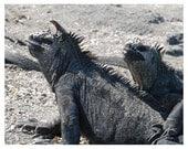 PHOTO - Galapagos Islands  Odd Hair Ornament