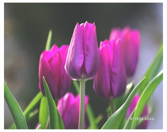 Tulip Photography - Pink Tulips Print -  Spring Photo - Garden - Botanical Photo - Pink Tulips