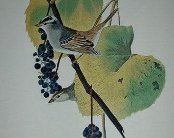 Vintage 1960s Print, White-crowned Sparrow, 8 1/2 x 11 1/2