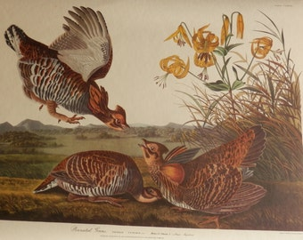 Antique Pinnated Grous Audubon numbered Plate