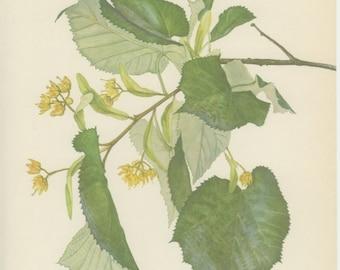 Vintage Tree Print, Silver Lime, Botanical  Book Plate 123, Ornamental, Nature, Landscape, Frameable Art, 1969, Choc