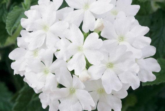articles similaires graines de verveine blanche verveine toscane belles fleurs sur des. Black Bedroom Furniture Sets. Home Design Ideas