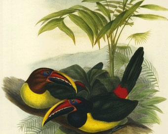 Sale  Bookplate Birds of Toucans by Gould,  Large on Heavy Paper Buy 3, get 1 Free