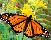 Free Ship 70 Fresh seeds Yellow Milkweed Perennial Monarch BUTTERFLY HUMMINGBIRD ATTRACTOR Asclepias Curassavica