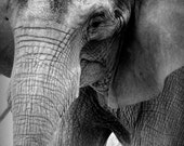 Elephant face black and white fine art photo 5x7 with an 8x10 matte Pittsburgh art - great for babies nursery