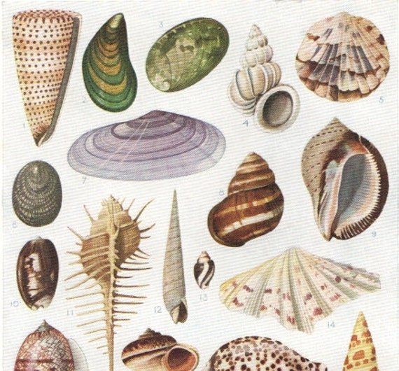 Latin Names For Shell 52