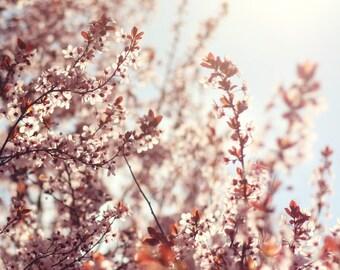 Cherry Blossoms - 8x8 Fine Art Photograph