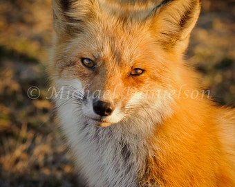 Red Fox Foxy Loxy Photograph Print 8x10