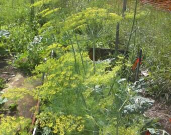 Dill-Non-Gmo Organic Heirloom Herb  Seed