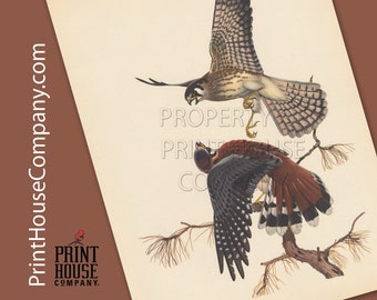 Bird, Vintage Sparrow Hawk Print, by Athos Menaboni, Natural history bird art, Ornithology