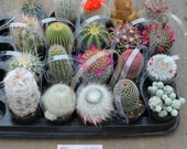 "10 Awesome Cactus For Sale in their 2.5"" round  containers All are labled with names succulents succulent-"