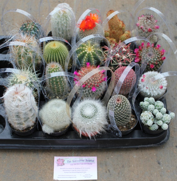 10 Awesome Cactus For Sale In Their 2.5 Round By
