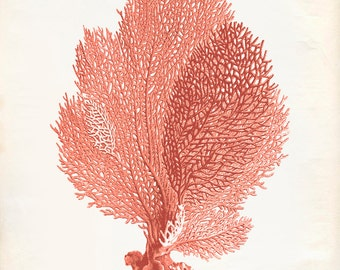 Sea Coral Drawings Vintage sea fan coral print