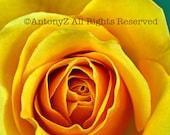 Majestic Yellow Rose 8 x 10 Color Fine Art Print