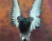 taxidermy of 2 head freak pigeon made by 2 pigeons,open wings posetion