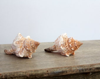 Fox Shells, Vintage Sea Shells