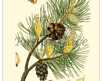 ART CARD - Scotch Pine Vintage botanical print reproduction 496