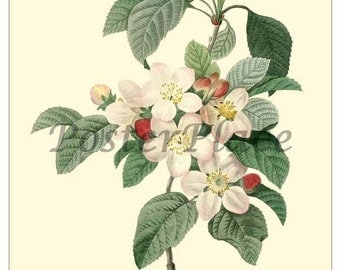 Apple Blossom ART CARD - Vintage Botanical print reproduction - Redoute