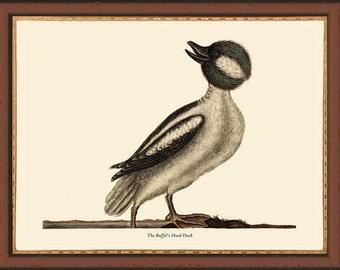 BUFFLEHEAD DUCK -   12 x 16 Catesby bird print reproduction 7046
