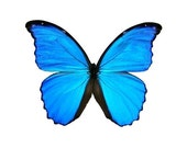 Real Butterfly Wings for crafting and art projects - Blue Morhpo butterfly (LARGE SIZE)
