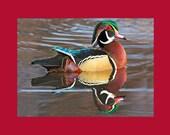 Wood duck bird photograph- 5 x 7 matted