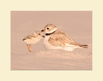 Piping plover with chick bird photograph- 8x10 matted