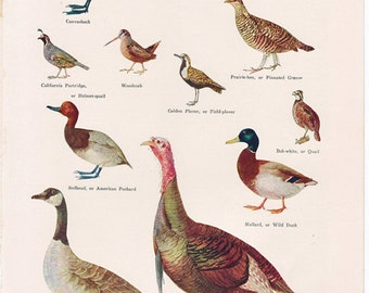 vintage bird print, 'Game Birds of North America', from the 1930's