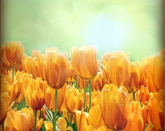 Sunlit Tulips- Photography print of flower.  Fine art photography print. Yellow/ green decor.