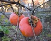 Organic Heirloom 30 Bulk Seeds Asian Persimmon Tree Seeds Orange Huge Fruit Sweet F17