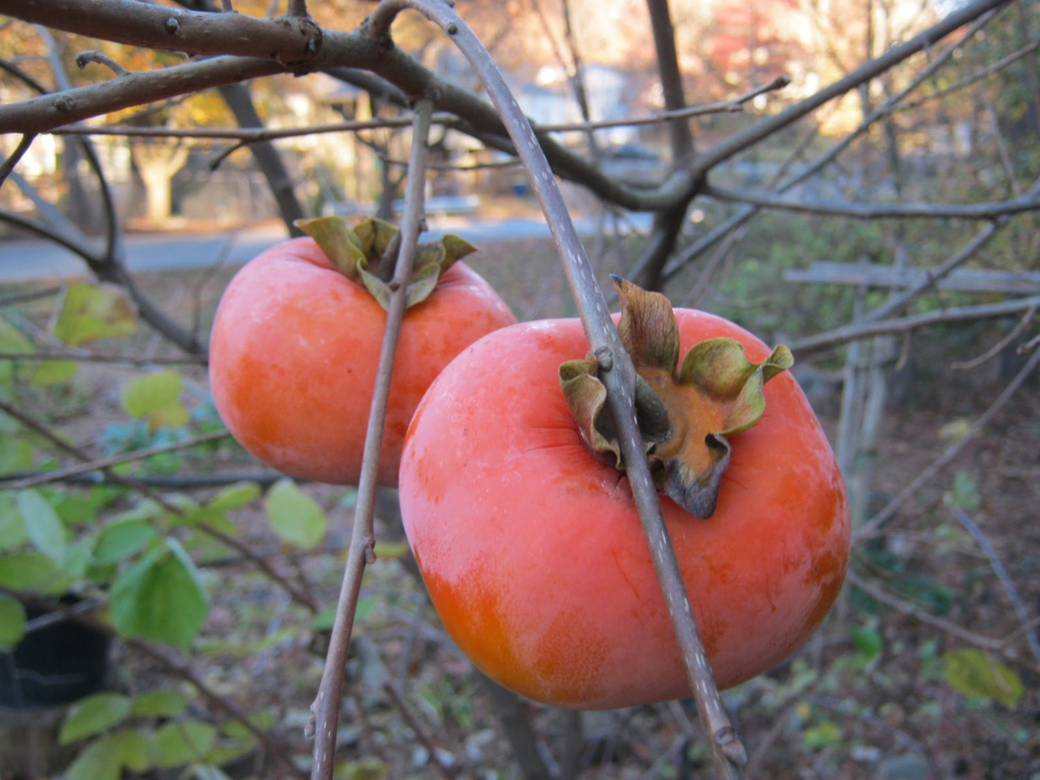 Dried Japanese Fuyu Persimmons-How To Make Dried ...