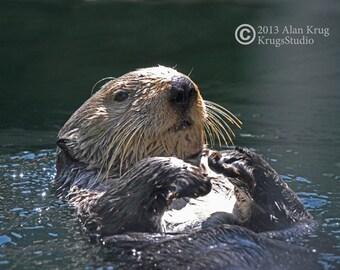 CALIFORNIA SEA OTTER - Original Fine Art Photograph of Sea Otter At Play